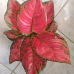 Bibit Aglonema Red Katrina, Punya Warna Merah Bercampur Hijau Segar