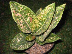 Bibit Aglonema Rubby Compacta, Daunnya Indah Sekali Layaknya Permata