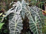 Bibit Alocasia Amazonica Super, Tanaman Daun yang Begitu Menawan